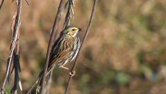 Savannah Sparrow in Marshland Stock Footage