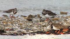 Ruddy Turnstones Along Shoreline - stock footage