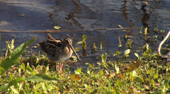 Wilson's Snipe Preening Along Marsh Shoreline Stock Footage