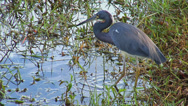 Stock Video Footage of Tricolored Heron Hunting for Food at the Everglades