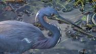 Stock Video Footage of Tricolored Heron Hunting for Food Closeup