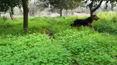 Dog in the orchard (1) - stock footage