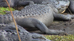 Alligators Sun Bathing on Shore Stock Footage
