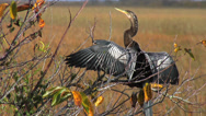 Stock Video Footage of Anhinga Drying its Wings at the Everglades National Park