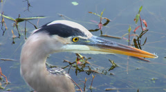 Great Blue Heron Close Up Stock Footage