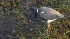 Tri Colored Heron Catches Minnow Stock Footage