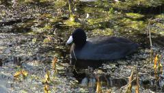 Two Coot Feeding in Marsh Stock Footage