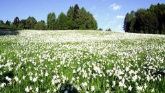 Daffodil Meadow Stock Footage