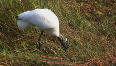 Wood Stork or Wood Ibis Catching Fish in the Everglades Stock Footage