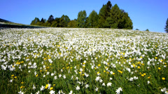 AERIAL: Daffodil Meadow Stock Footage