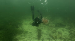 Diver swims to surface in Ketchican, AK with large starfish in hand Stock Footage