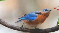 Bluebird Male Stock Footage