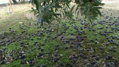 Olives have fallen to the ground due to the strong winds and rains of the winter Stock Footage