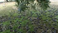 Stock Video Footage of Olives have fallen to the ground due to the strong winds and rains of the winter
