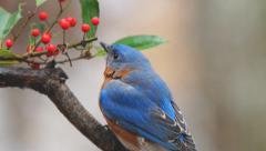 Eastern Bluebird Male Stock Footage
