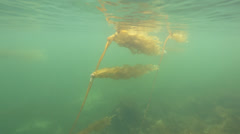 POV from a diver swimming by sea kelp and seaweed in Ketchican, AK Stock Footage