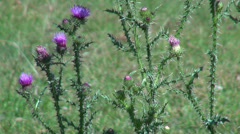 Spear thistle flowers in the wind, Cirsium vulgare, weed on pasture Stock Footage