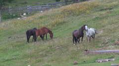 Four horses grazing on a meadow, pasture land, farm, domestic animals - stock footage