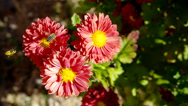 Stock Video Footage of chrysanthemums flowers