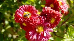 flowers chrysanthemums - stock footage