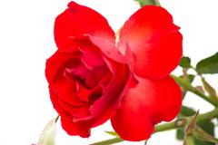 red beauty rose - stock photo