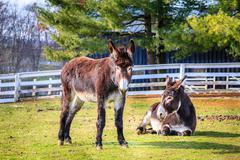 donkeys on the farm - stock photo