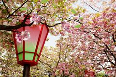 Beautiful sakura for adv or others purpose use - stock photo