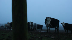 An inquisitive cow (dolly shot) - stock footage