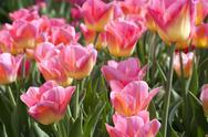 Stock Photo of tulips in pink color