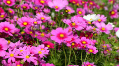 Beautiful cosmos flowers swaying in the breeze Stock Footage