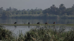 Camera boat - cows on a tiny island on the Nile river, Egypt Stock Footage