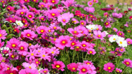 Stock Video Footage of Beautiful cosmos flowers swaying in the breeze