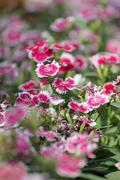 Pink dianthus chinensis flower. Stock Photos