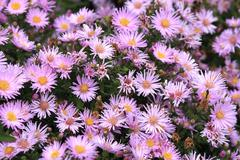 Stock Photo of aster flowers