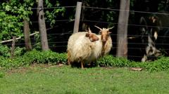 "Two beautiful  hungarian ""Racka"" sheeps Stock Footage"