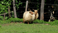"Stock Video Footage of Two beautiful  hungarian ""Racka"" sheeps"