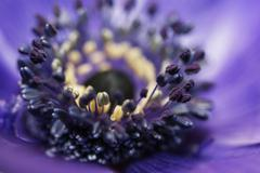 purple heart of a flower - stock photo