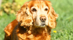 English Cocker Spaniel Stock Footage