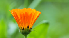 Flower of calendula - stock footage