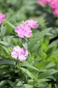 Stock Photo of light pink dianthus flower.