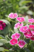 pink dianthus chinensis flower. - stock photo
