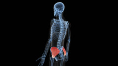 Animation showing the musculus gluteus medius Stock Footage