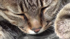 Stock Video Footage of Feline dozing face close up
