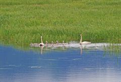 trumpeter swans and babies in a wetland marsh. - stock photo