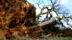 Uprooted tree - dolly shot Stock Footage