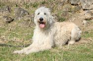 Stock Photo of amazing irish wolfhound lying in the stone garden