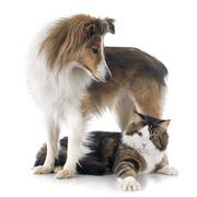 shetland dog ans maine coon cat - stock photo
