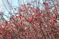 canine rose, dog rose bush in winter time - stock photo