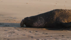 Large elephant seal digging in sand Stock Footage