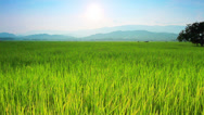 Stock Video Footage of Rice farm